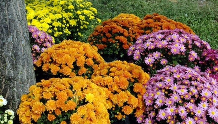Many cultivars of chrysanthemums grow to shrub size in an island garden.