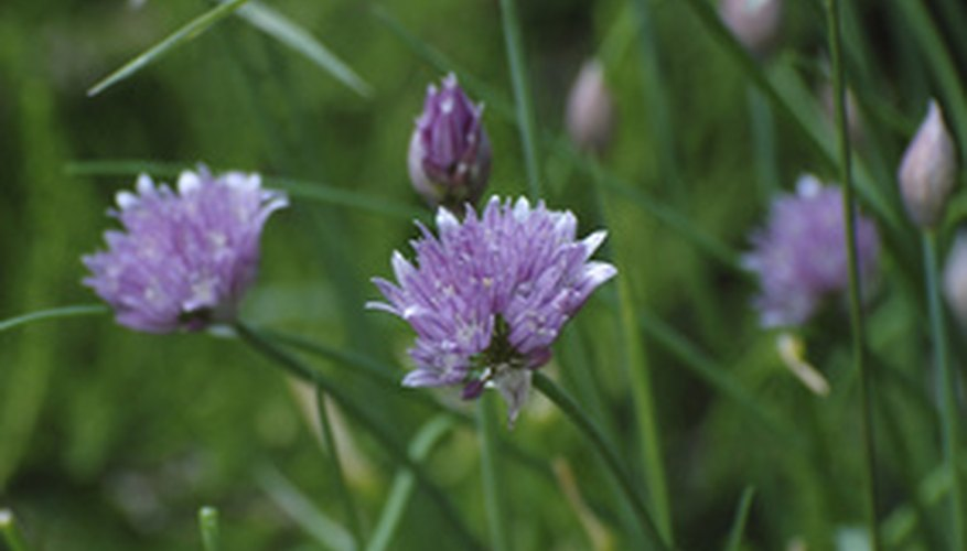 Chives, mature with blossoms