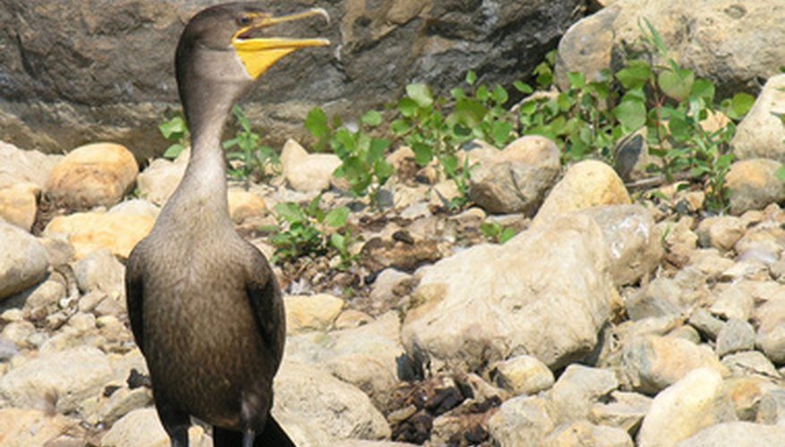 El pico de cada ave le ayuda a recoger el alimento apropiado. En las aves acuáticas, el pico se usa para filtrar la comida de otros restos.