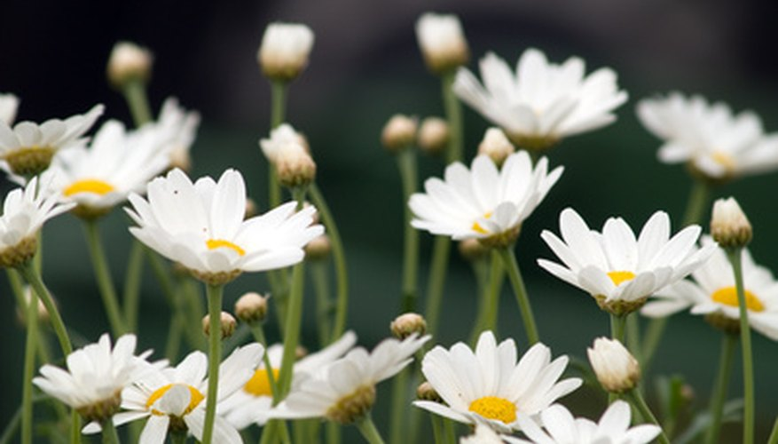 Shasta daisies return each year in larger clumps.
