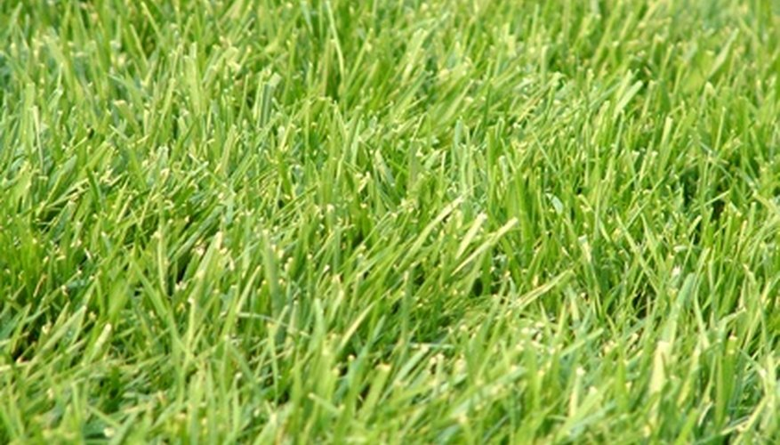 A green lawn might contain fungal spores that will color it brown when the weather turns warm.