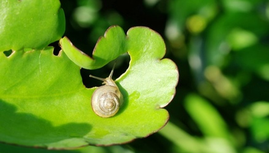 Snails leave slime trails and chew leaves of plants.