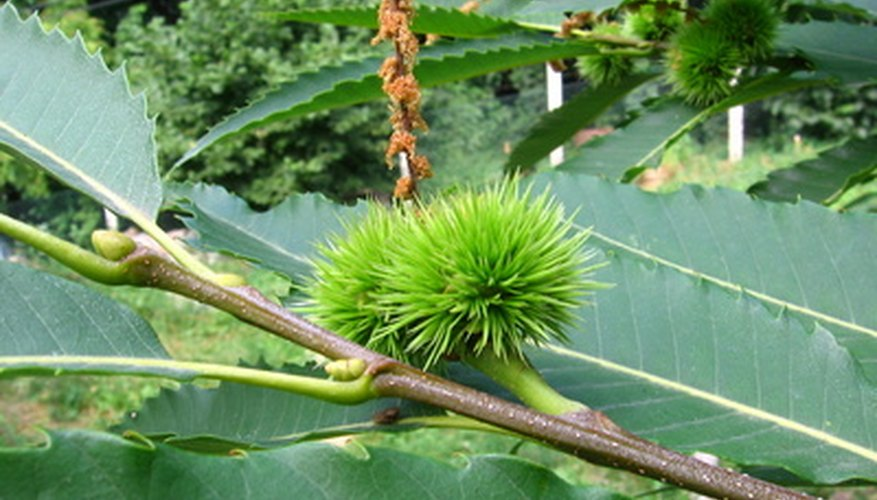 The fruits of chestnuts look like little porcupines before splitting open.