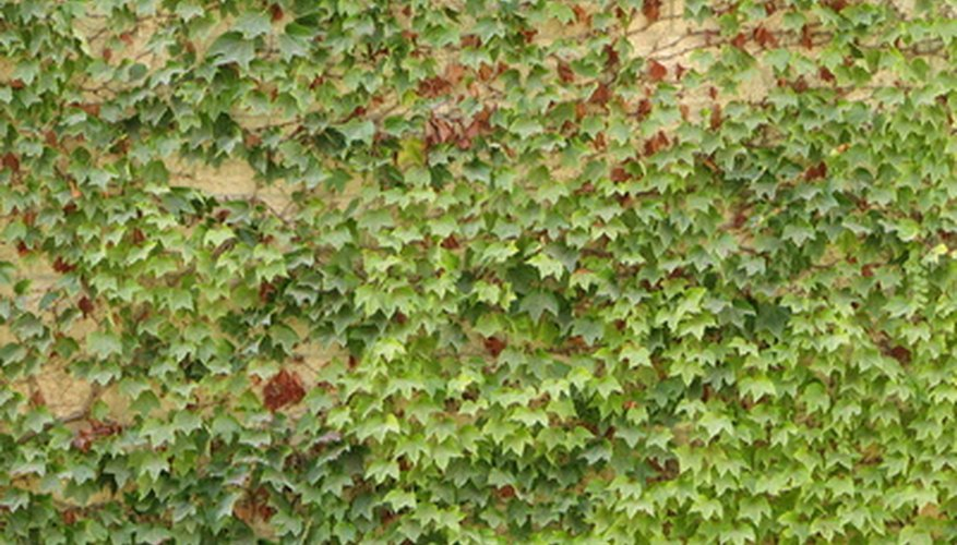 English ivy may never recover from a severe drought.