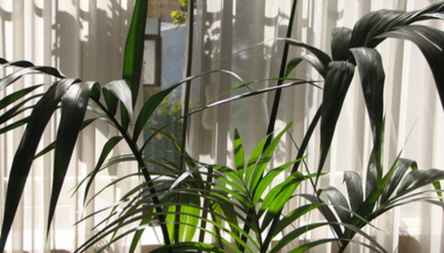 The kentia or hotel palm is the most resilient palm for interior culture.