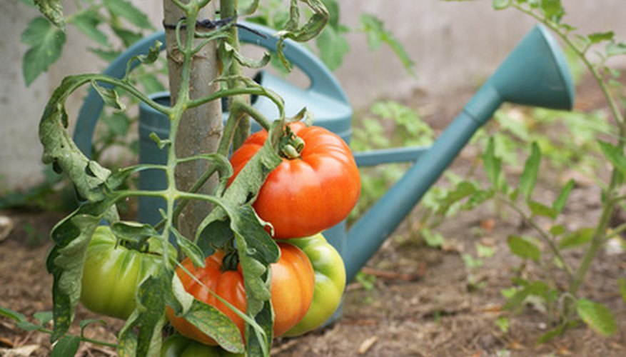 Water management is important for perfect tomatoes.