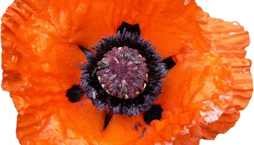 Vibrant bloom of the oriental poppy