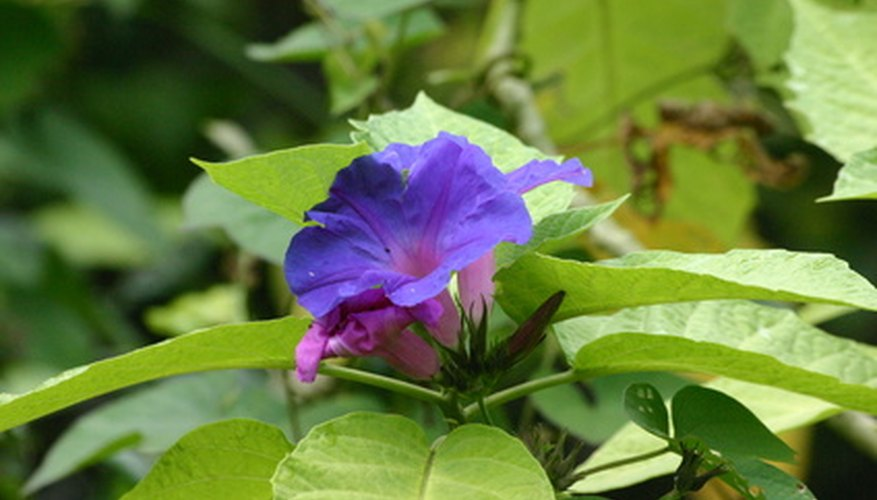 Morning glories are common garden plant with flowers that close at night.