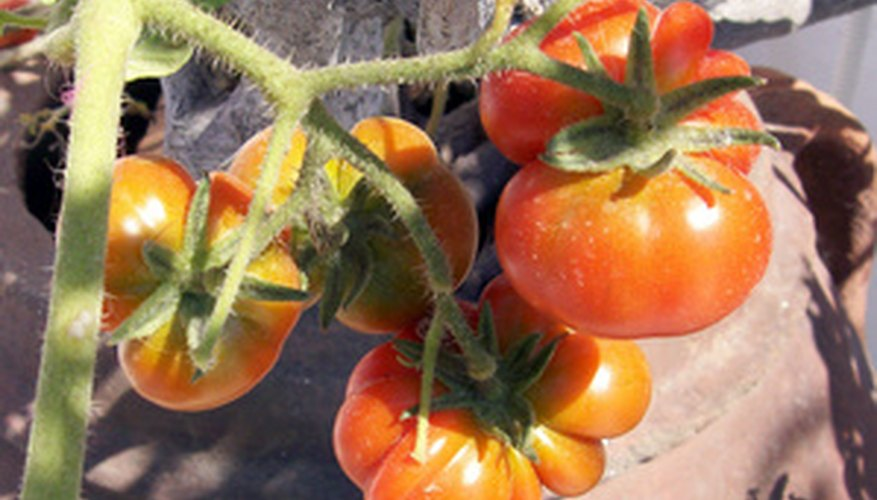 Tomatoes are a popular vegetable plant in Greece.