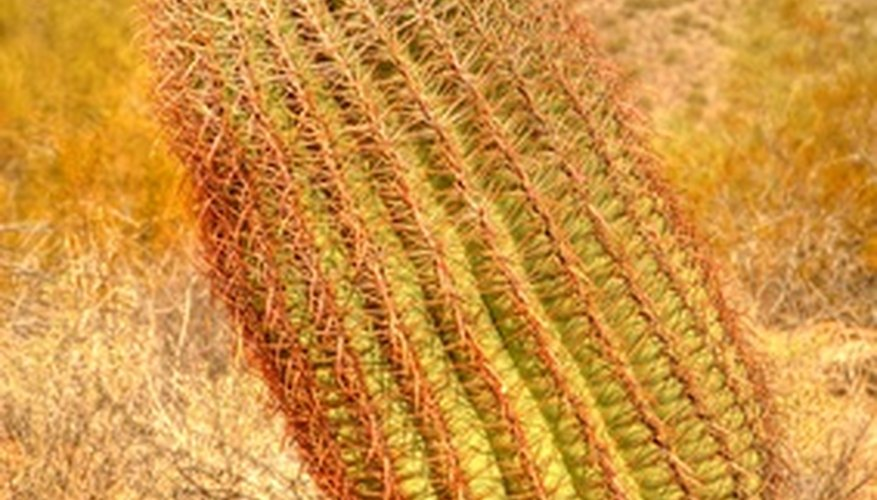 The barrel cactus has vertical ridges and sharp spines.