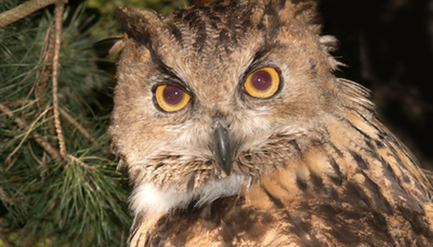 Owl calls can be imitated by blowing through cupped hands.