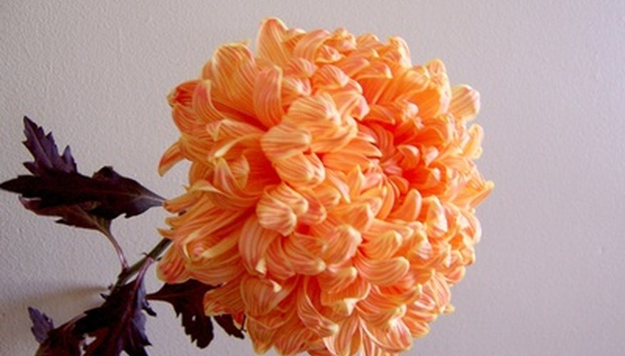 Chrysanthemum is an easy to maintain indoor plant.