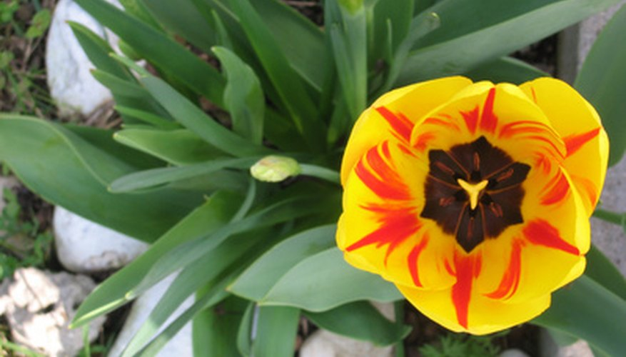 Don't fret. Tulip bulbs can be planted in February.