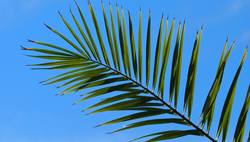 Frond of a pygmy date palm