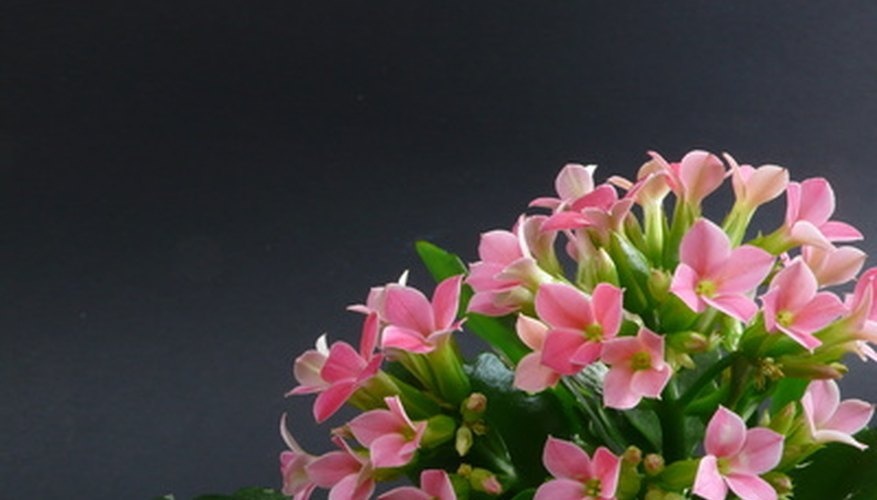 Kalanchoe flowers are often affected by powdery mildew fungal disorders, according to the University of Minnesota.