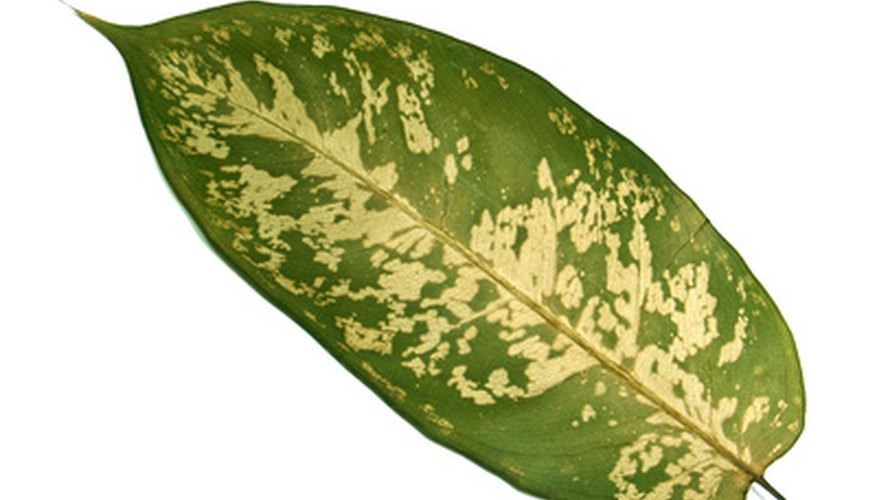Gardeners enjoy the large, variegated leaves of the dumb cane, an easy plant to grow in homes and offices.