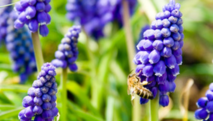 Grape hyacinth is an early spring bloomer.