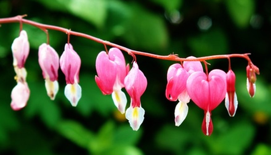 The morbidly named bleeding heart plant.