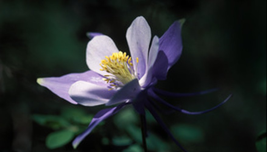 Colorado columbine is native to Colorado.