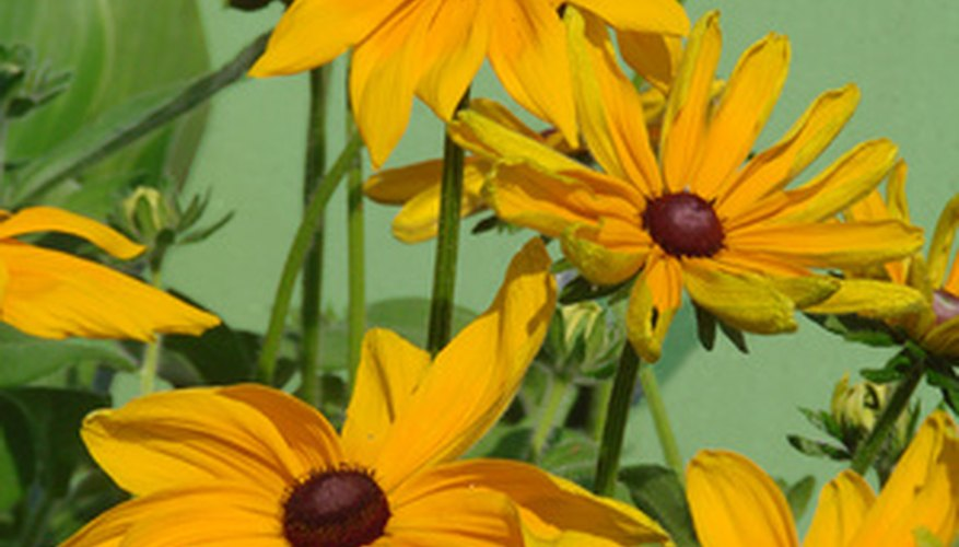 Plant Black-eyed Susan for blooms all summer long.