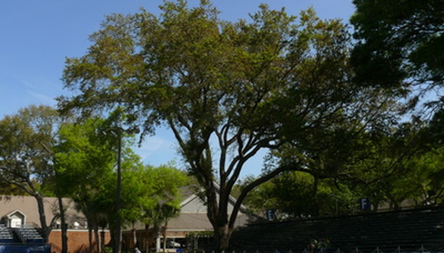 Live oaks have a wide spreading habit.