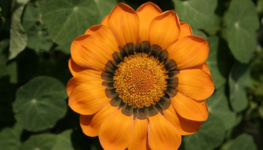 Orange gazanias appear similar to sunflowers.