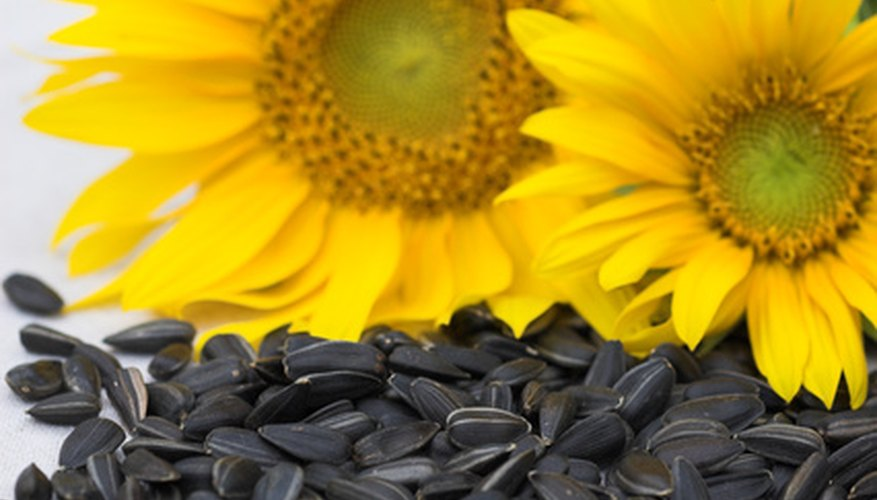 Sunflower seeds are produced on the central flower disk.