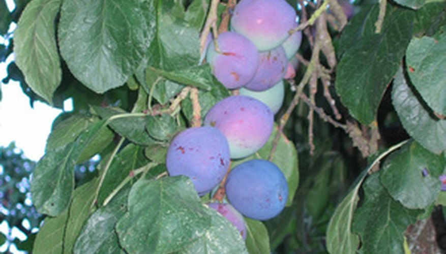 Thin fruit to encourage larger fruit development
