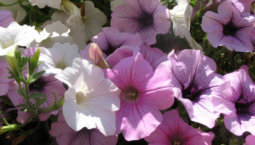 Petunias are an example of vascular seed plants.