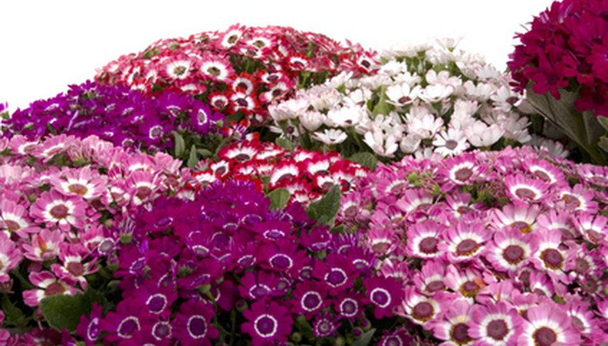 Shades of pink, purple, blue and white make cineraria a great potted plant gift in late winter.