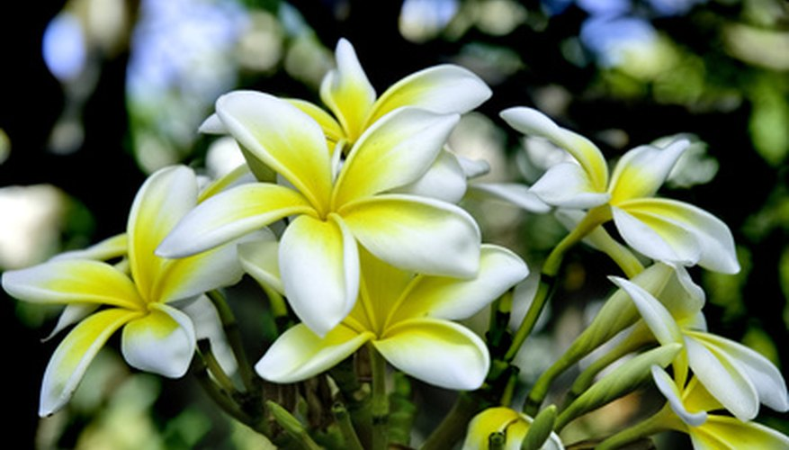 Plumeria tree with flowers