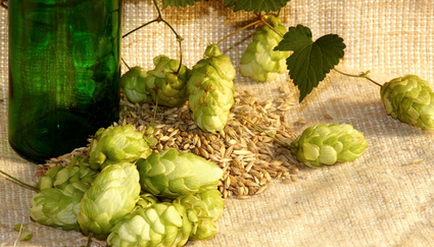 Hops, like these, are wind pollinated.