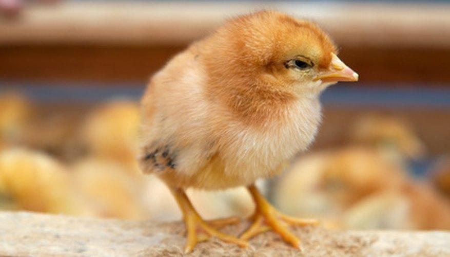 Añadir continuamente pollos jóvenes permitirá escalonar las edades de tus capas.