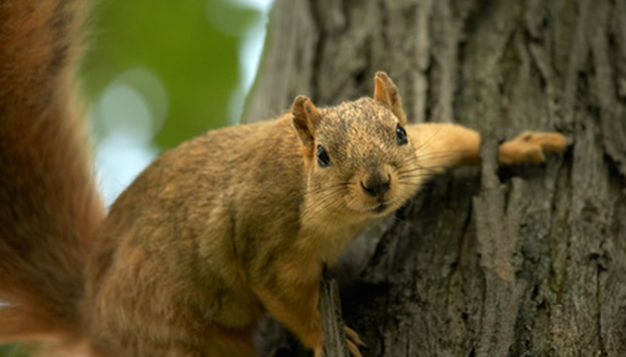 Prevent squirrels from damaging your tree.