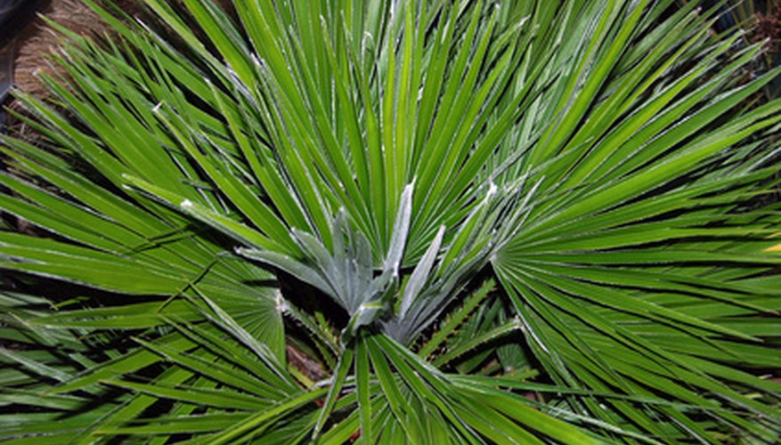 Chinese fan palm derives its name from its fan-shaped foliage.