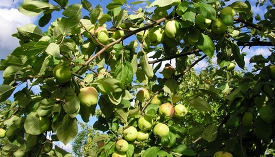 Mature apple tree bearing fruit