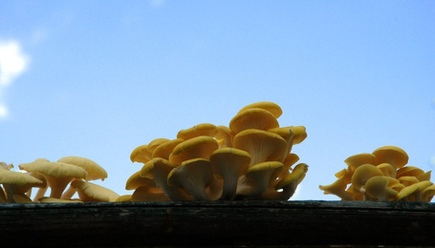 Grow your own oyster mushrooms.