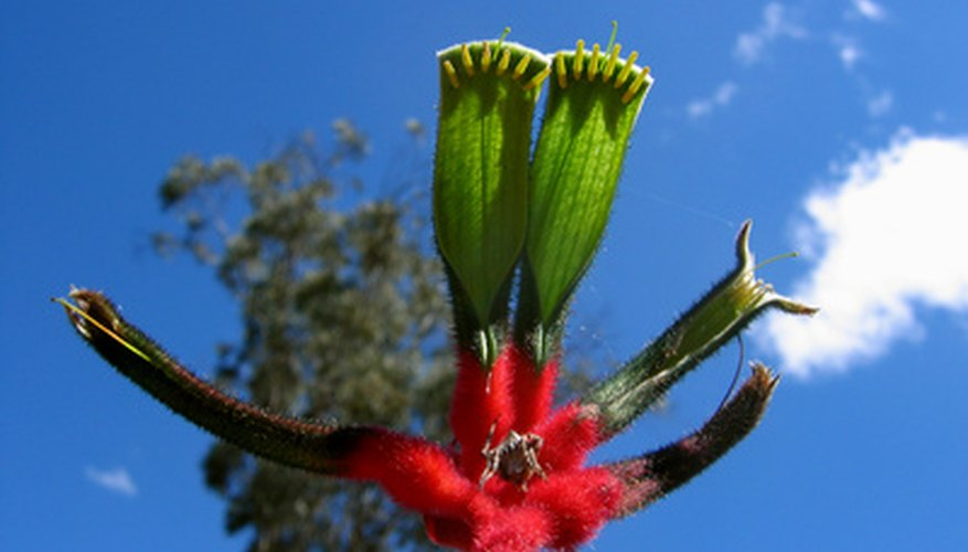 Blooming kangaroo paw flower