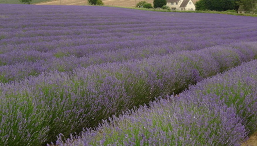 Growing lavender can be financially rewarding.