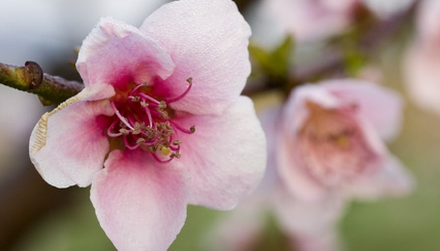 Peach blossoms in the spring.