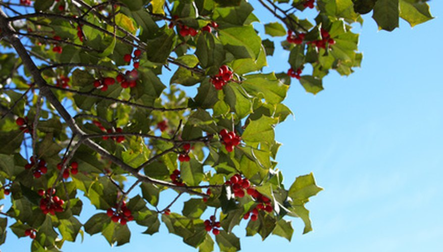 A holly's characteristic red berries can only be produced on female hollies when they've been pollinated by males.