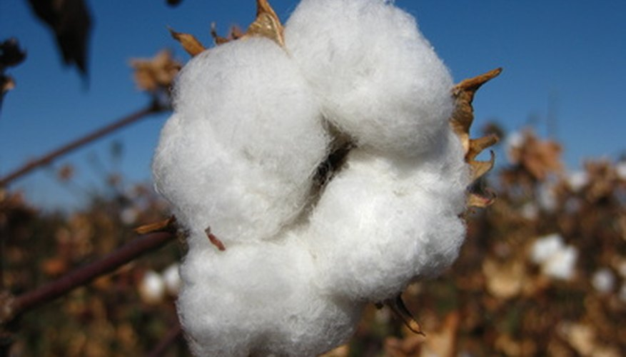 Cotton grows in the southern United States.