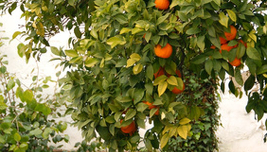 Orange trees can be protected from frost damage.