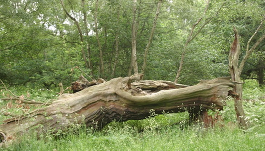 Oak trees are susceptible to ganoderma root rot.
