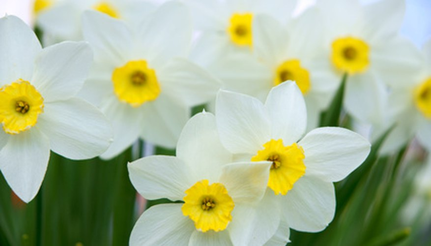 Daffodils are a sign of hope, given their propensity to bloom in the spring.
