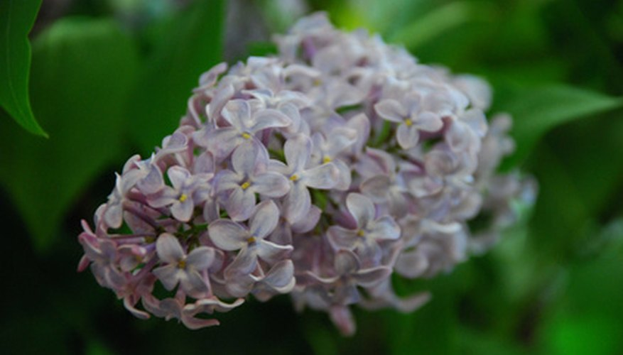 Lilac in bloom.