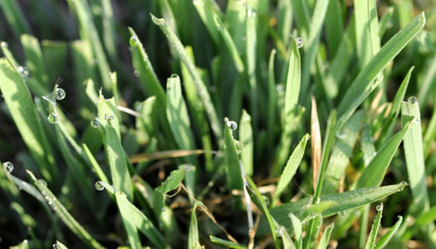 to keep grass green all summer long in Texas, choose a heat-tolerant grass.