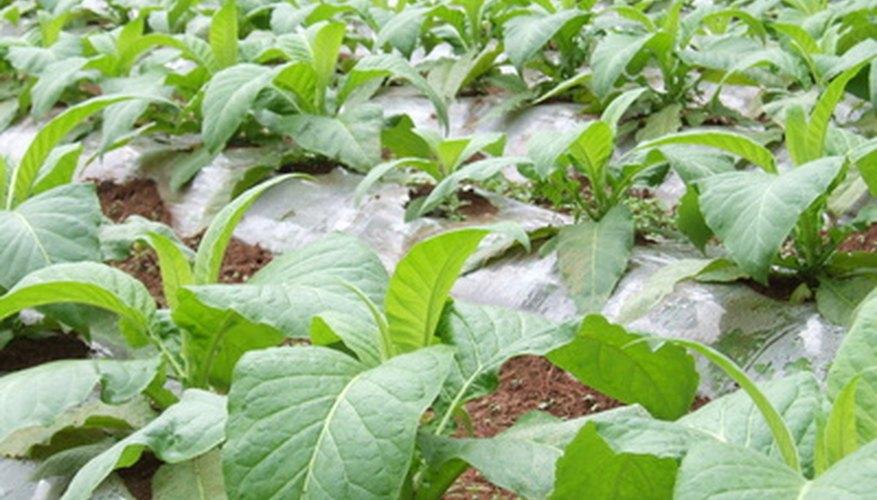 Un cultivo en el interior proporciona mejores plantas.