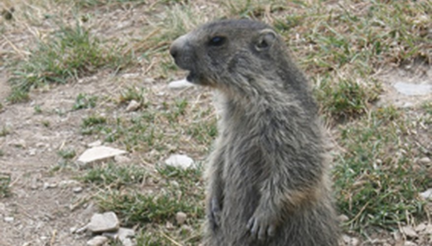 Groundhogs Moles And Gophers Are Pesky Varmints
