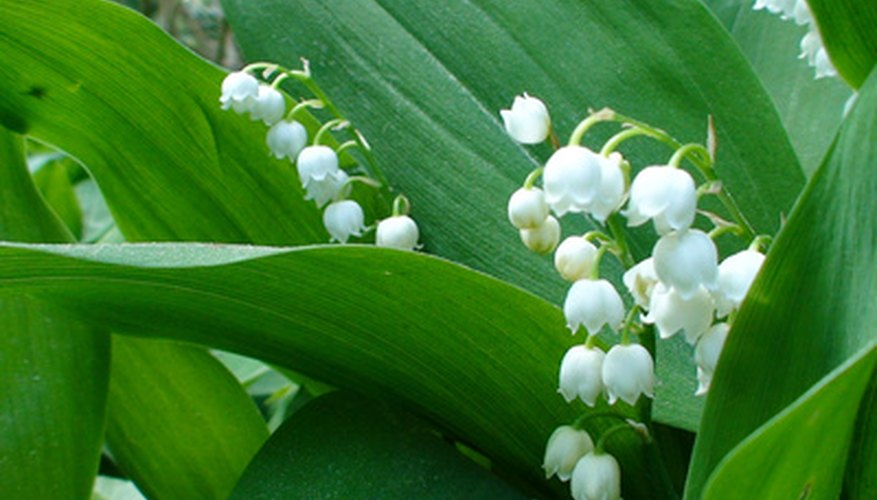 Canada mayflower is similar to lily-of-the valley.